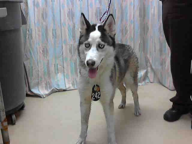 Texas Id A406759 Is A Siberian Husky At The Shelter Since 5 27 14 In Need Of A Loving Adopter Rescue At Harris Coun Humane Society Pets Animal Shelter