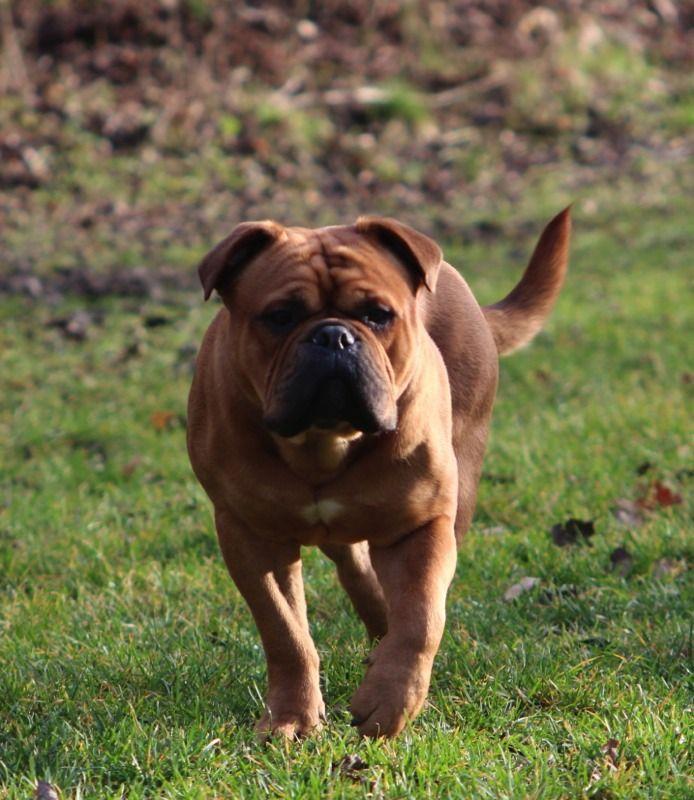 Pin Von St Kleinbrahm Auf Continental Bulldogs By Ap Hunde