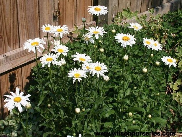 Alaska Shasta Daisy Plant Pictures Shasta Plants