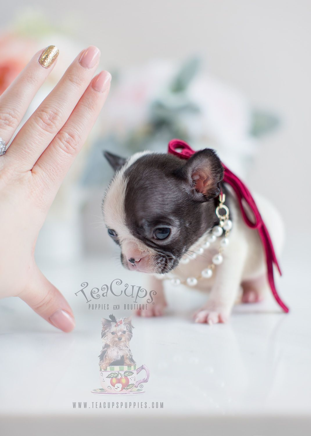 Mini French Bulldog Puppy By Teacupspuppies Com Home Raised And
