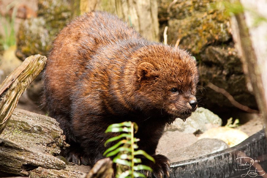 Fisher (by DeeOtter) Marten and Fisher Bear, Fisher
