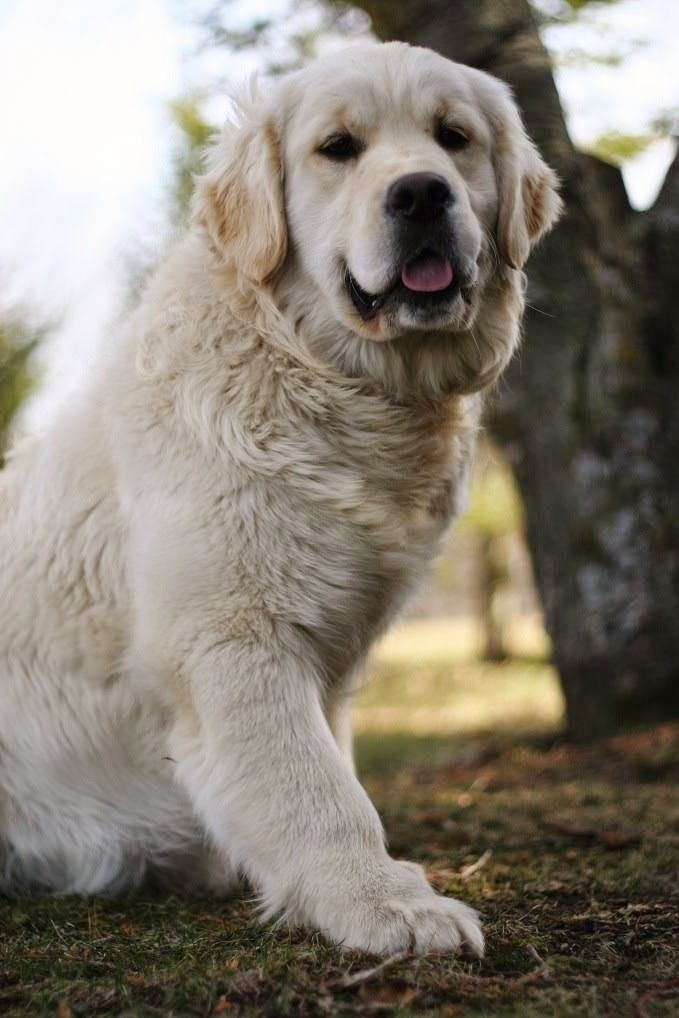See More English Golden Retriever Swissridge English Golden