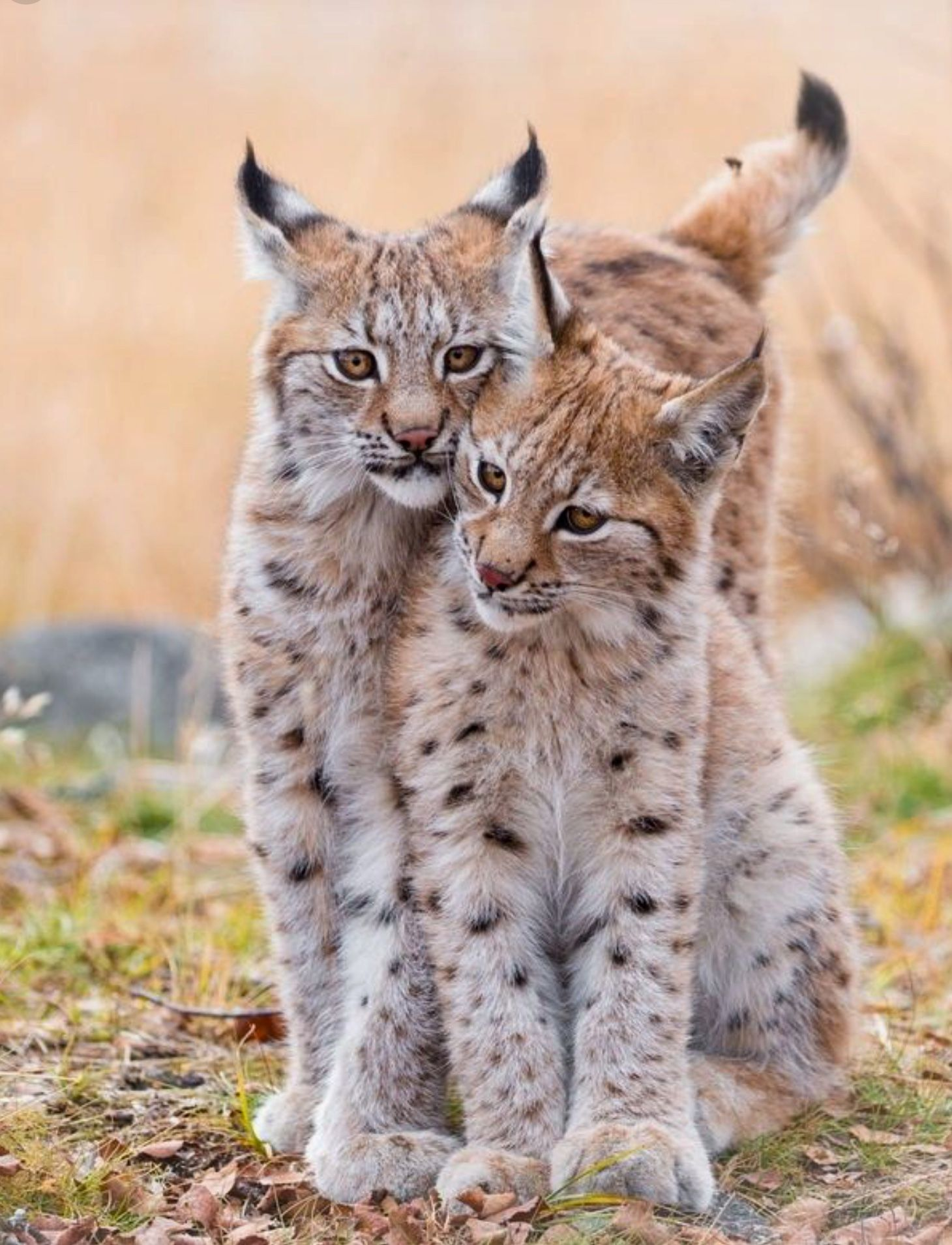 Two Beautiful Bobcat Kittens They Don T Get Much Cuter Than These Two Siblings Cats Animals Wild Bobcat Kitten