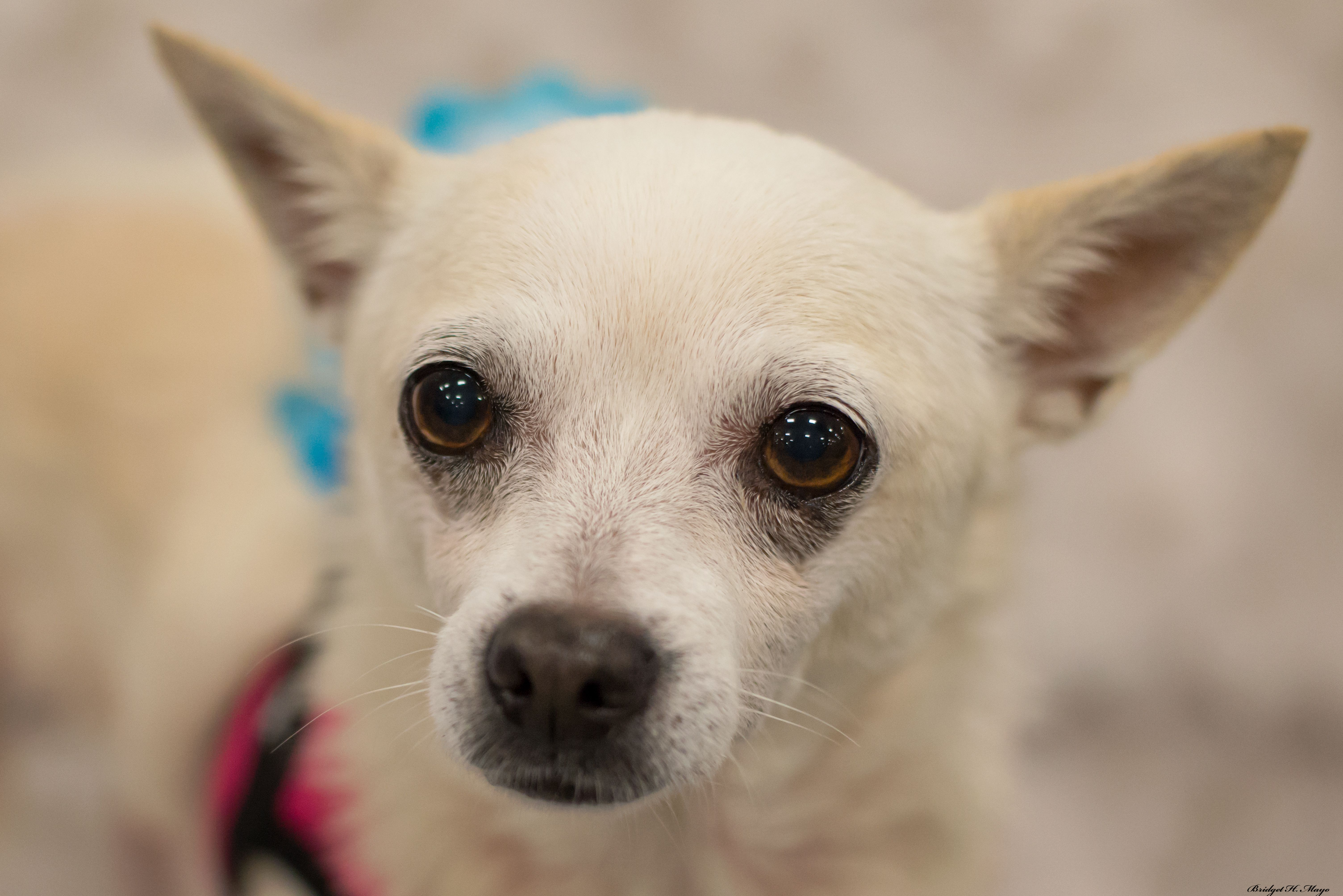 Adopt Puddin on Petfinder Second chance dog rescue