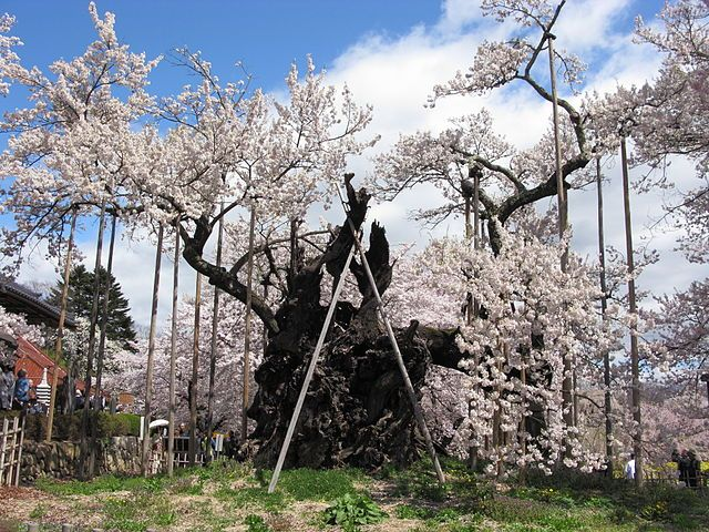 Jindai Cherry Blossom Tree Is Over 2000 Years Old The Locals Have Propped The Limbs Of The Tree Up Rather Than Let Blossom Trees Cherry Blossom Cherry Tree