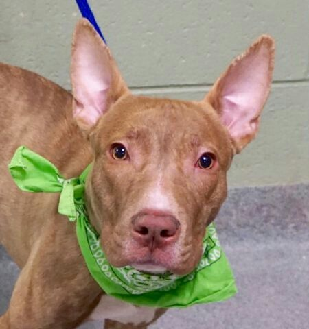 Spot A Puppy Nyc Acc To Kill Sat 12 10 16 Available At Manhattan Acc A1098910 Urgentpodr Org Shelter Dogs Rescue Dogs Sick Dog