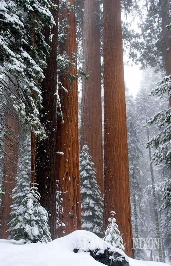 snow in the redwoods