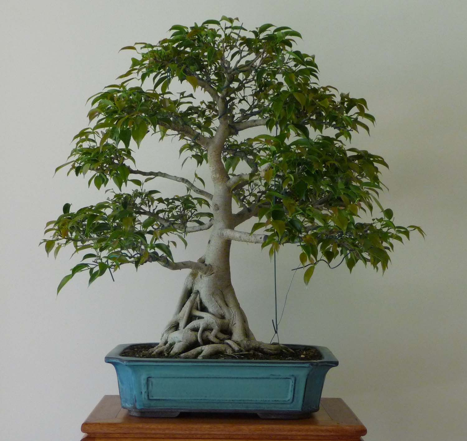 Bonsai Pottery Post 42 Ficus Root Pruning
