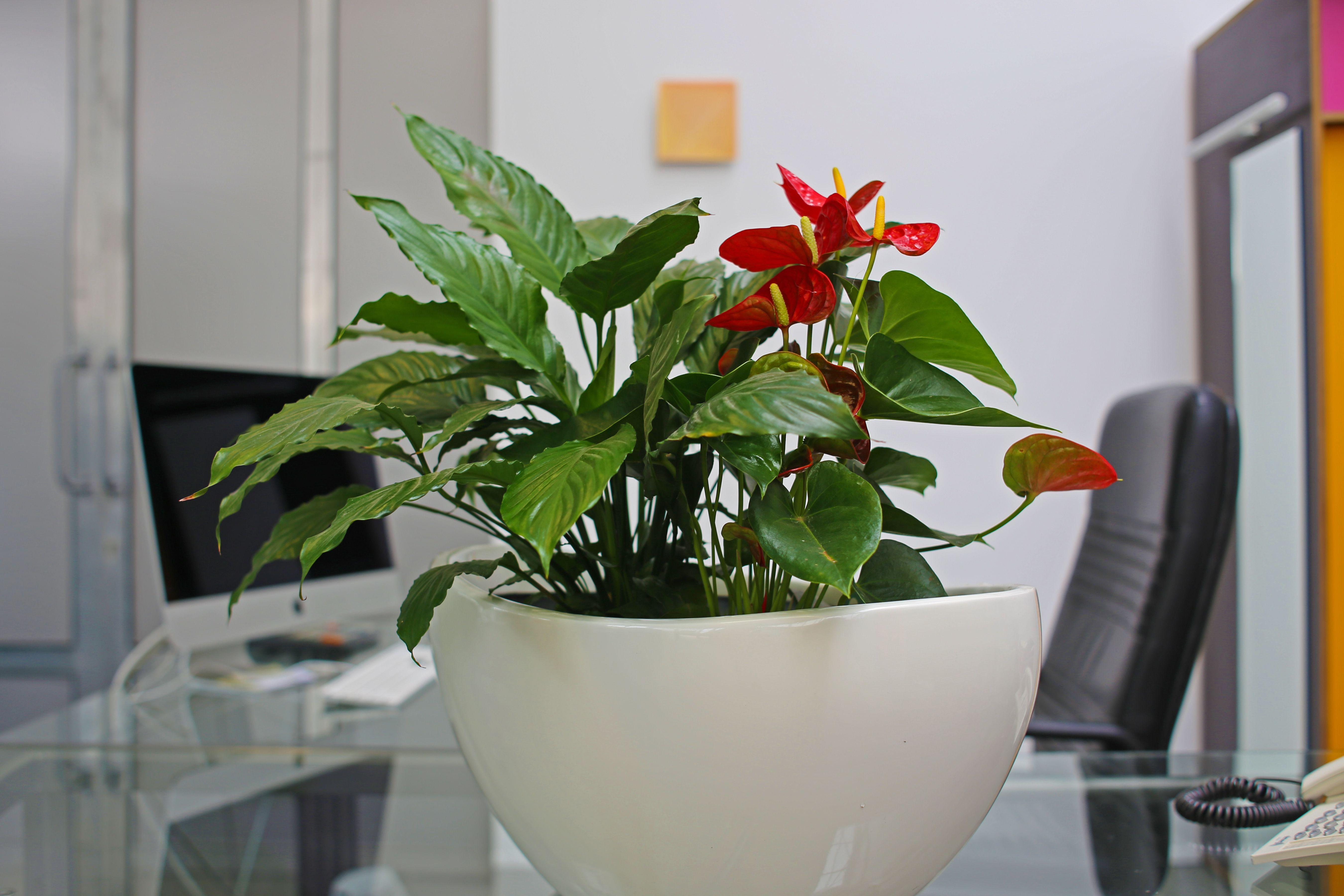 Buropflanze Raumbegrunung Pflanzenpflege Innenraumbegrunung