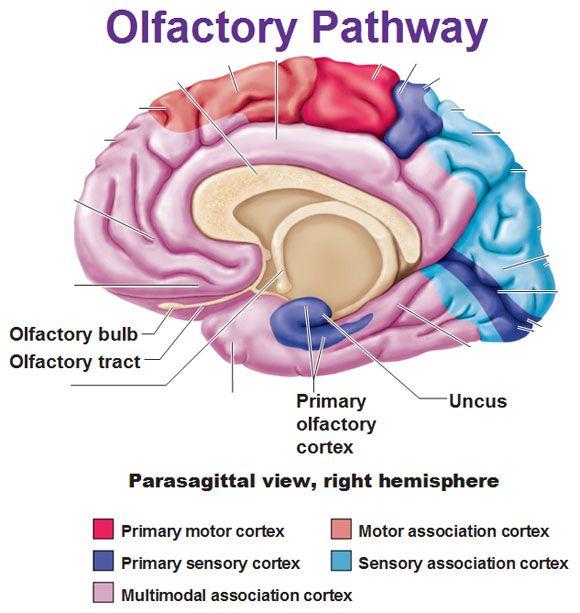 olfactory pathway bulb tract cortex uncus | Anatomy & Physiology ...