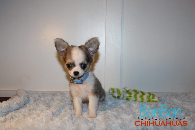 Chihuahua Puppies For Sale Baby Chihuahua Chihuahua Puppies