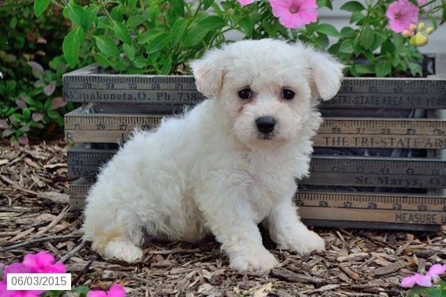 Mack Bichon Frise Puppy For Sale In Sugarcreek Oh Bichon Frise Puppy Bichon Frise Bichon