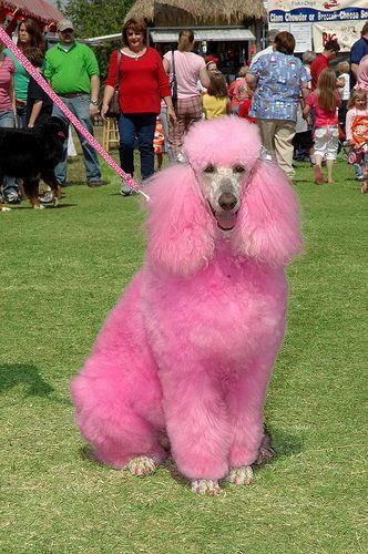Poodle Dyed Pink Poodle Dog Pink Poodle Pink Puppy