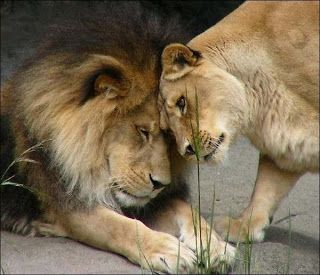Male and female lion love | Aww   | Lion love, Lion, lioness