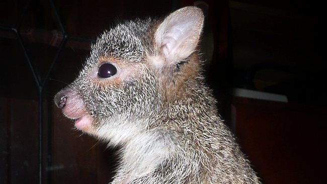 Spectacled hare-wallaby (Lagorchestes conspicillatus) //Genus Lagorchestes //Subfamily Macropodinae //Family Macropodidae
