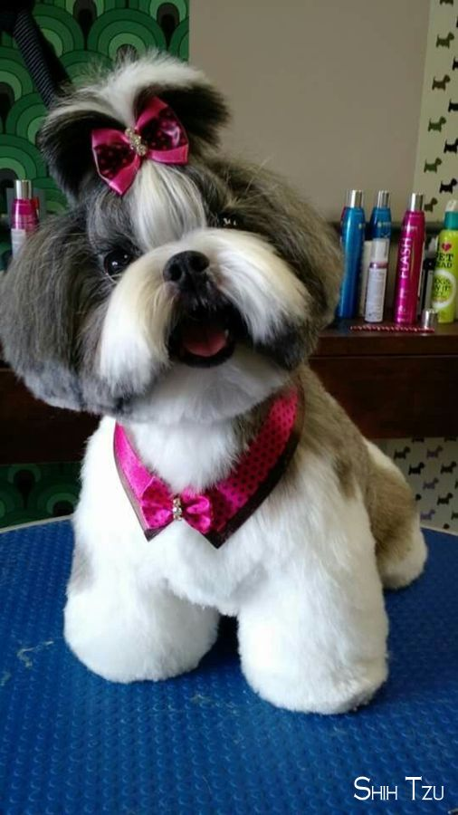Shih Tzu Affectionate And Playful Dog Grooming Styles Shih Tzu Puppy Shih Tzu Grooming