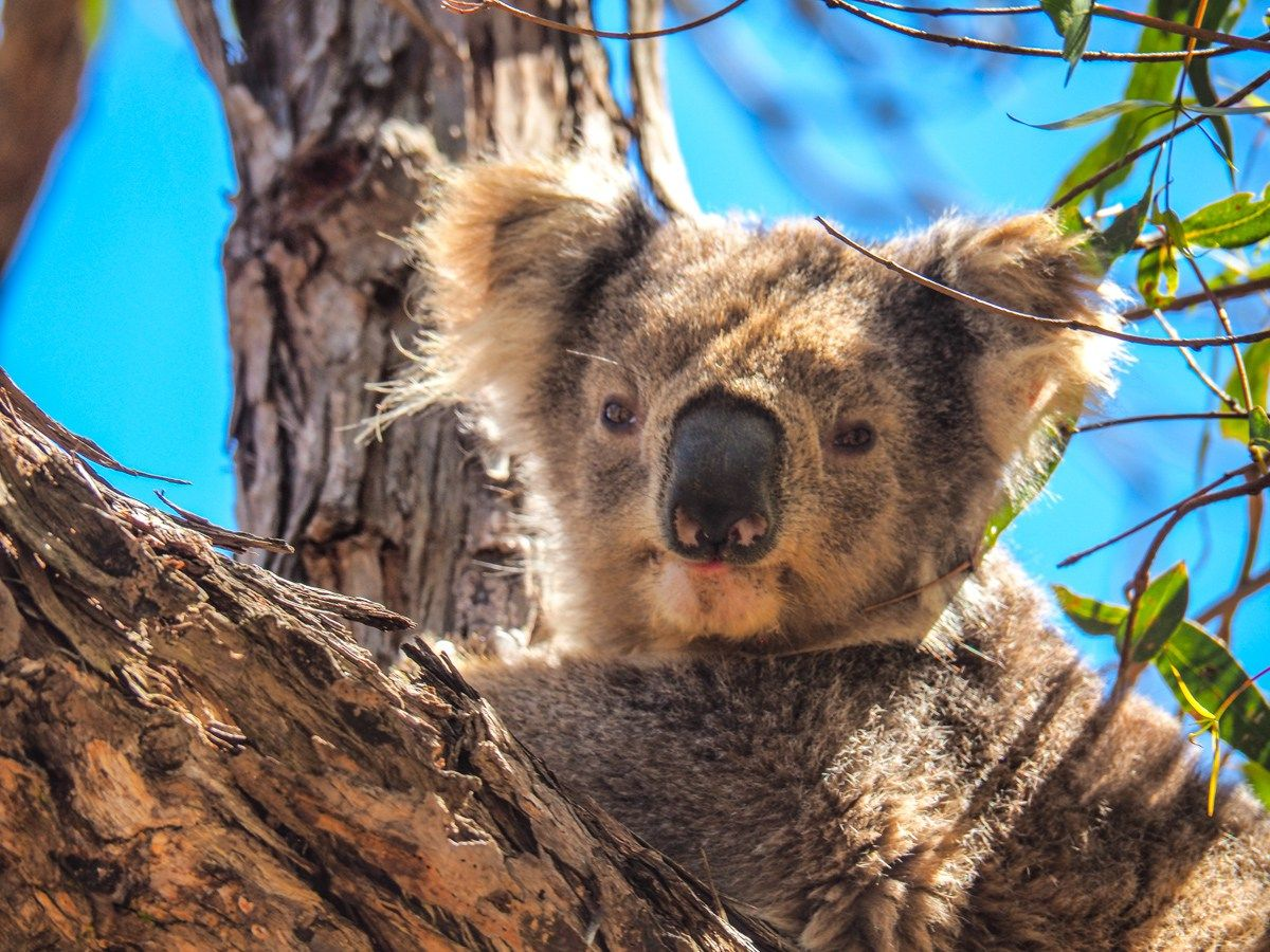 Melbourne To Sydney Drive The Ultimate Guide The Family Voyage Oceania Travel Melbourne Koalas