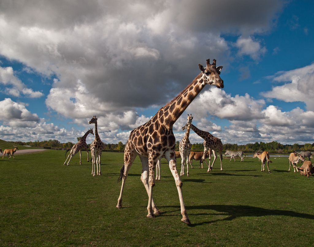 Giraffes Zebras And Elands Giraffe Zebra Eland