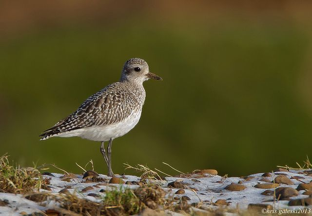 GREY PLOVER by JACK SNIPE WILDLIFE PHOTOGRAPHY ZENFOLIO.COM, via Flickr