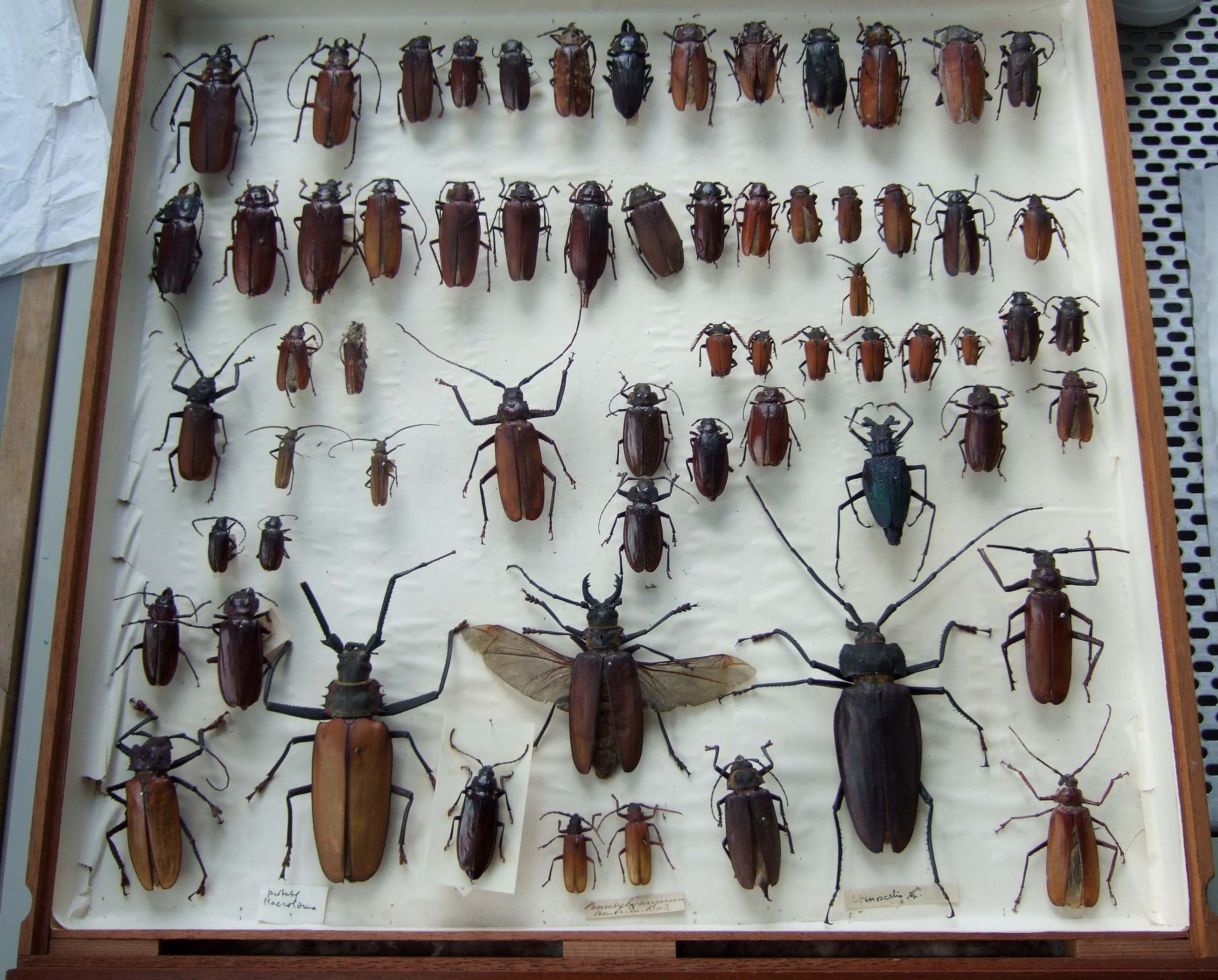 Ento Drawer 004 Jpg 2610 2100 Beetle Entomology Collection Cabinet Of Curiosities