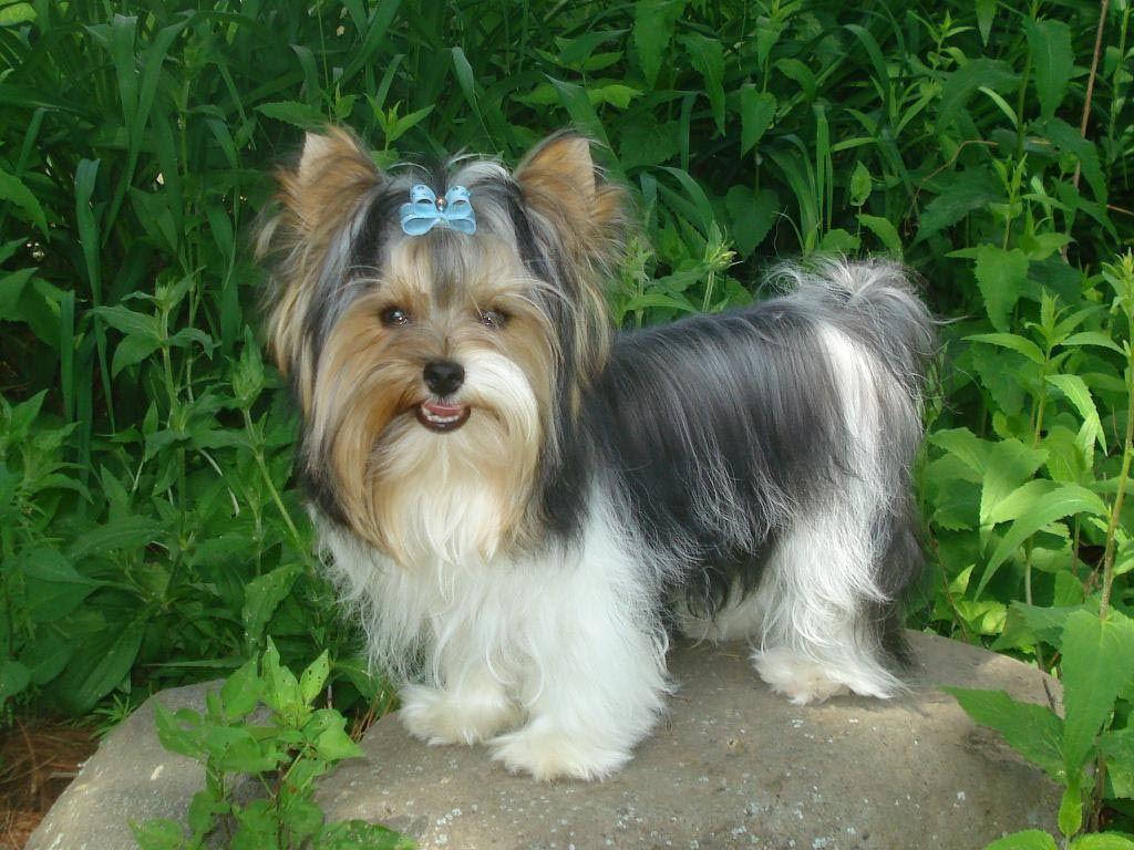 Jeanie My Dog Tibetan Terrier Havanese Mix 3 Month With