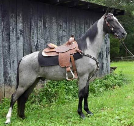 Roan Twh Gelding For Sale   Tennessee Walkers And Other