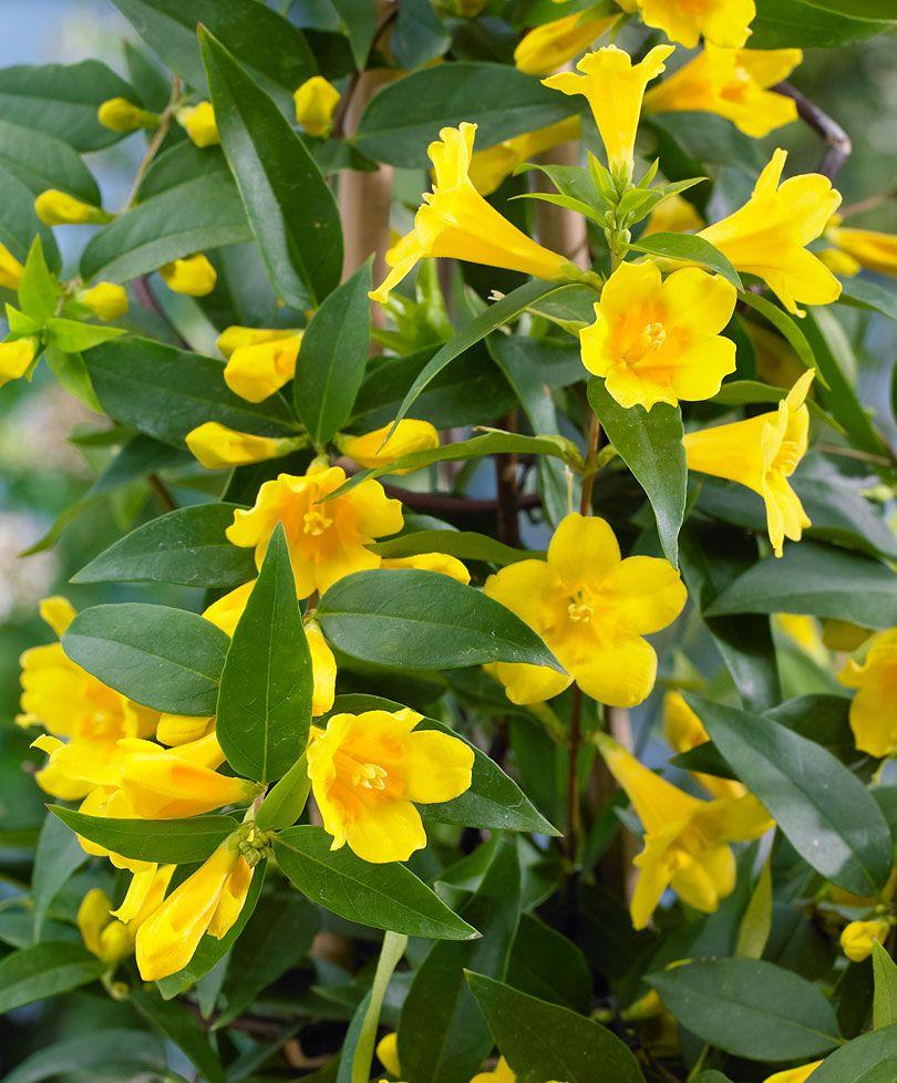 Yellow jasmine specials bakker hillegom flora pinterest yellow jasmine specials bakker hillegom izmirmasajfo Images