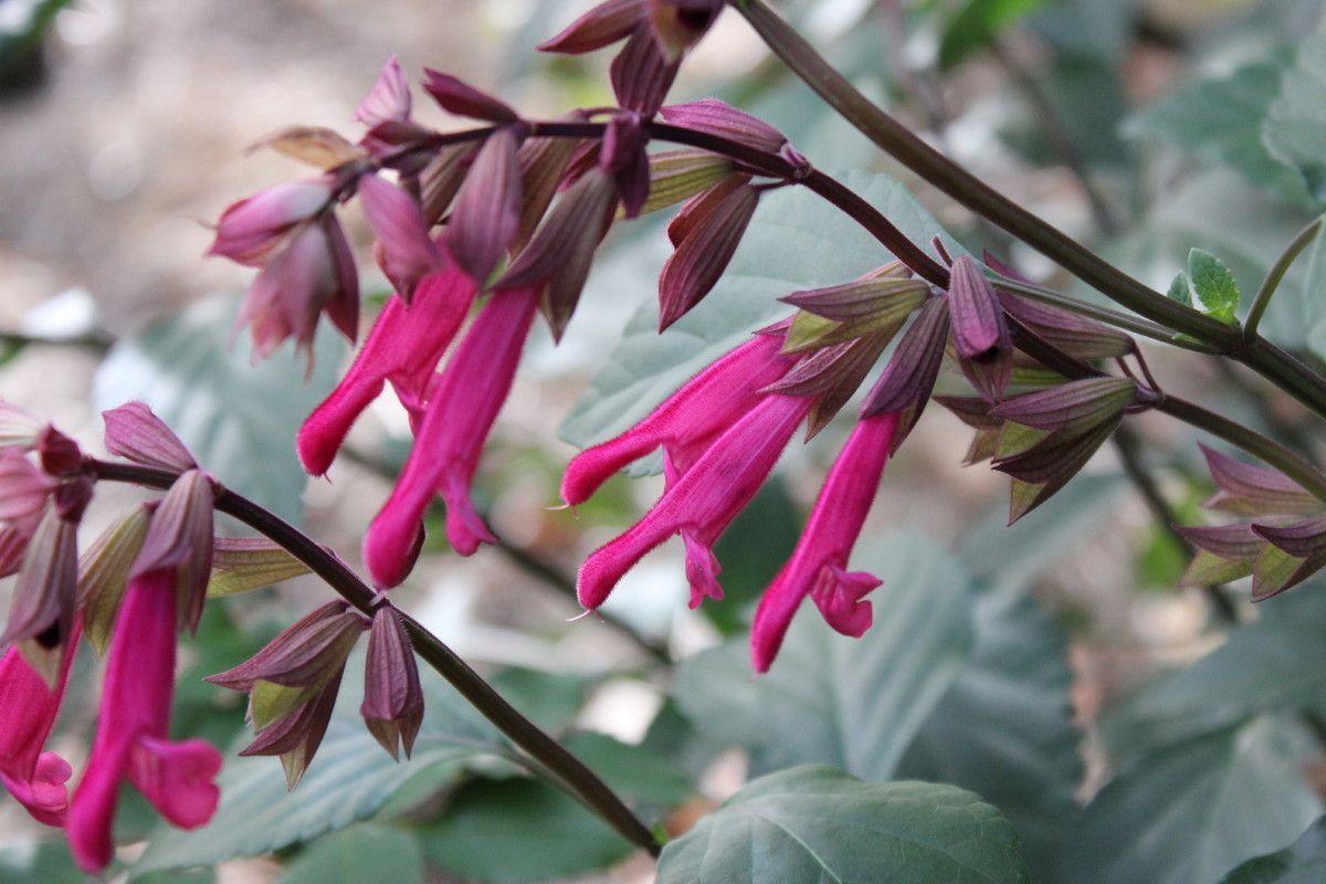 salvia u0027wendy u0027s wish u0027 u2022 evergreen shrub fuschia pink red flowers