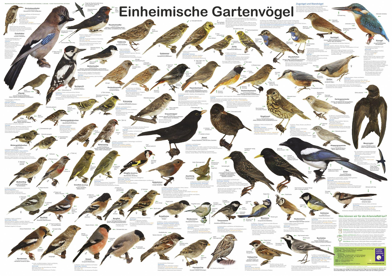 Einheimische Gartenvogel Poster Deutsch Din A1 Vogel Im Garten Vogel Bestimmen Naturnaher Garten