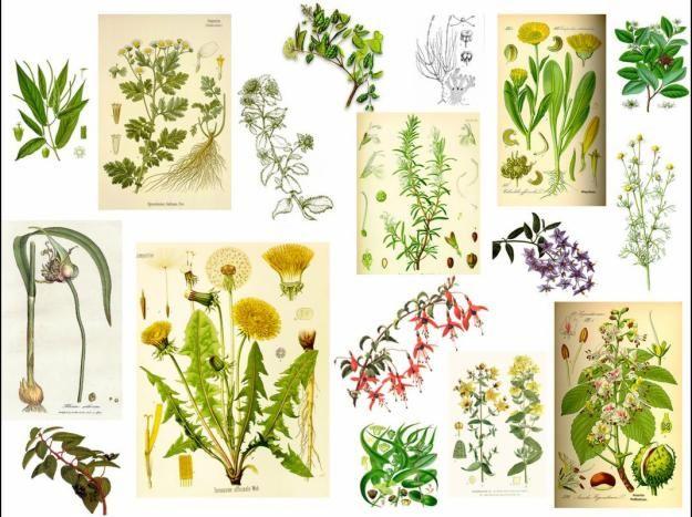 plantas medicinales dibujos antiguos  Buscar con Google