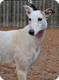 Cherry Hill, NJ - Greyhound. Meet Snowpeak 'Becky', a dog for adoption. http://www.adoptapet.com/pet/14689390-cherry-hill-new-jersey-greyhound