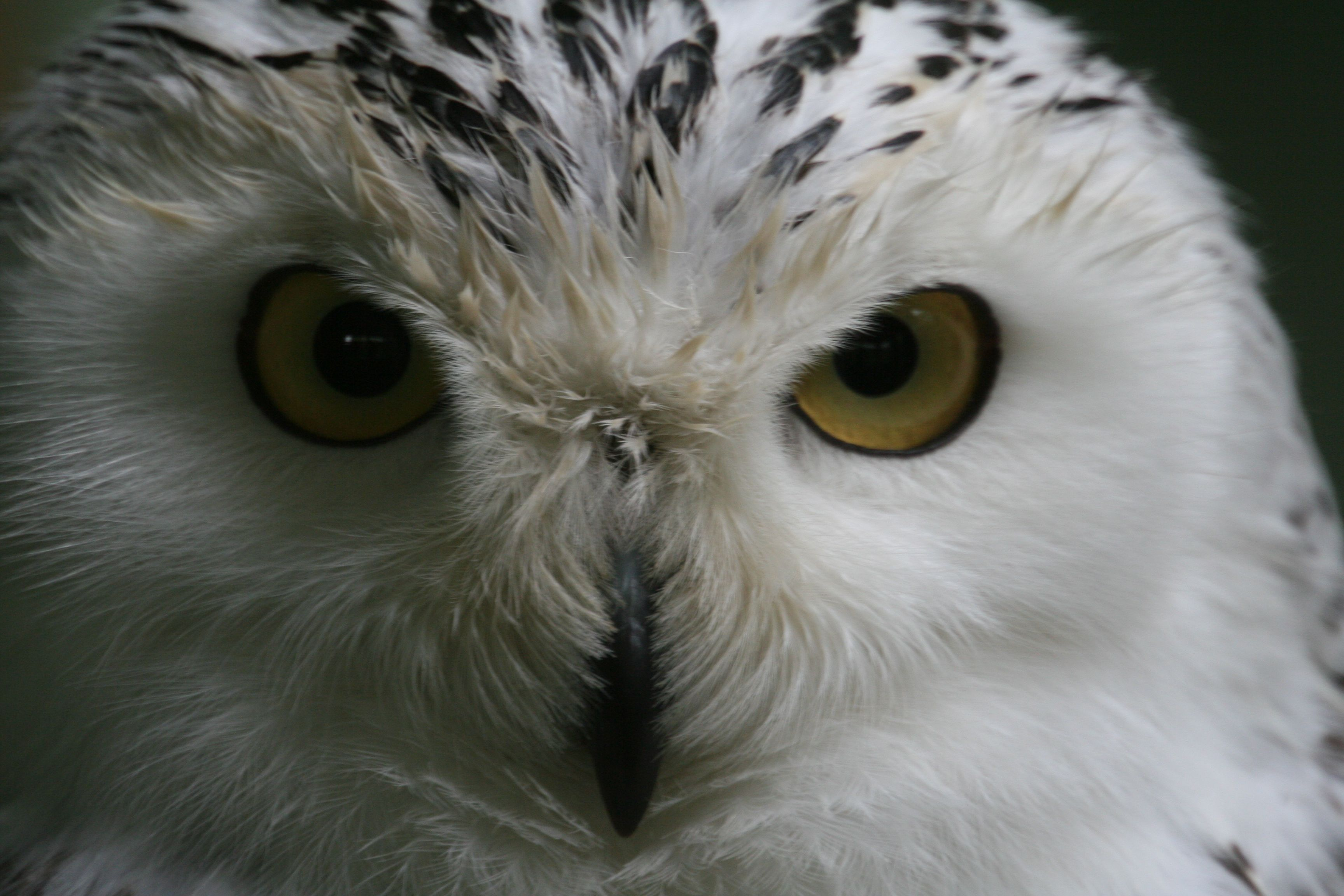 Snowy Owl Owl Photos Most Beautiful Animals Snowy Owl
