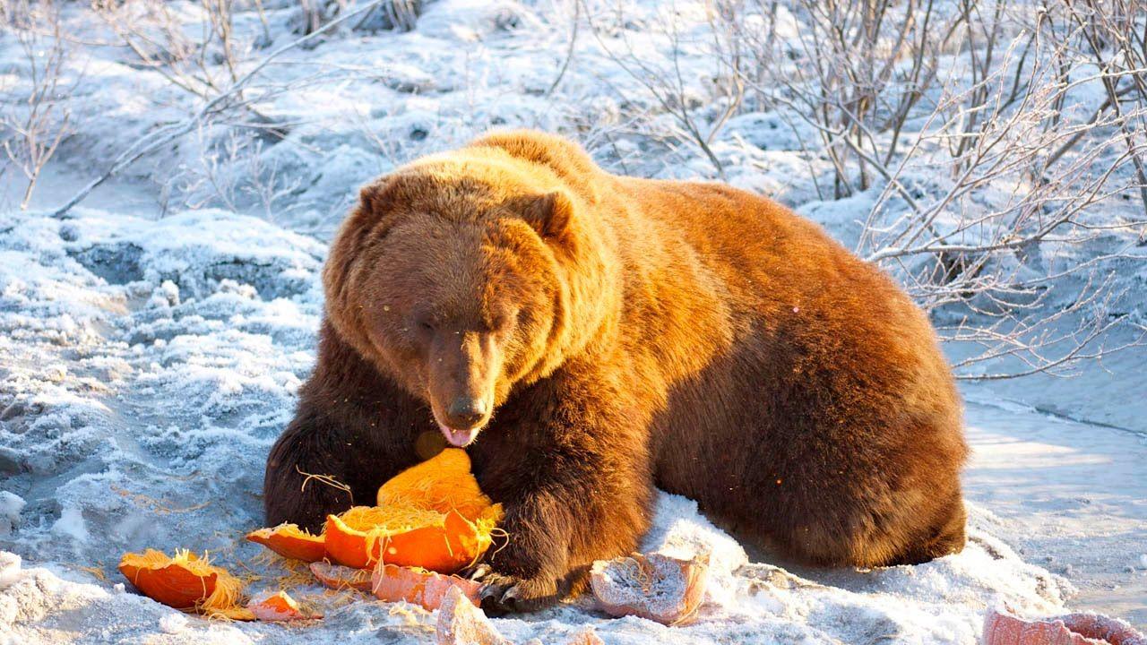 Amazing Wildlife of Alaska Wild Discovery Animals Channel