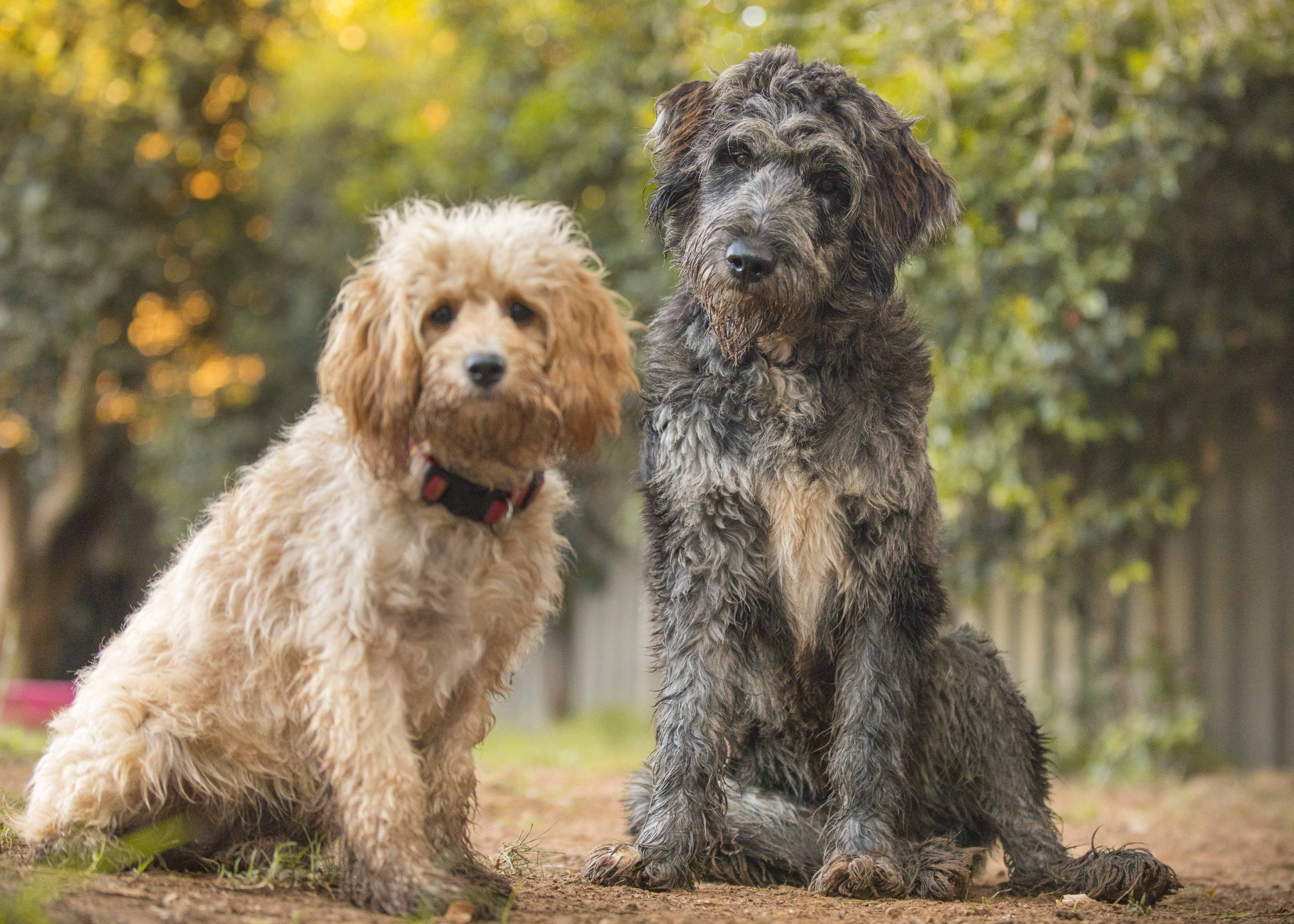 Manuka Is A Miniature Cavoodle Left And Harmaa Is A Blue Merle Bordoodle Border Collie Cross Poodle Bordoodle Border Collie Cross Poodle Poodle Cross Breeds