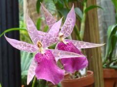 Orquídeas exóticas