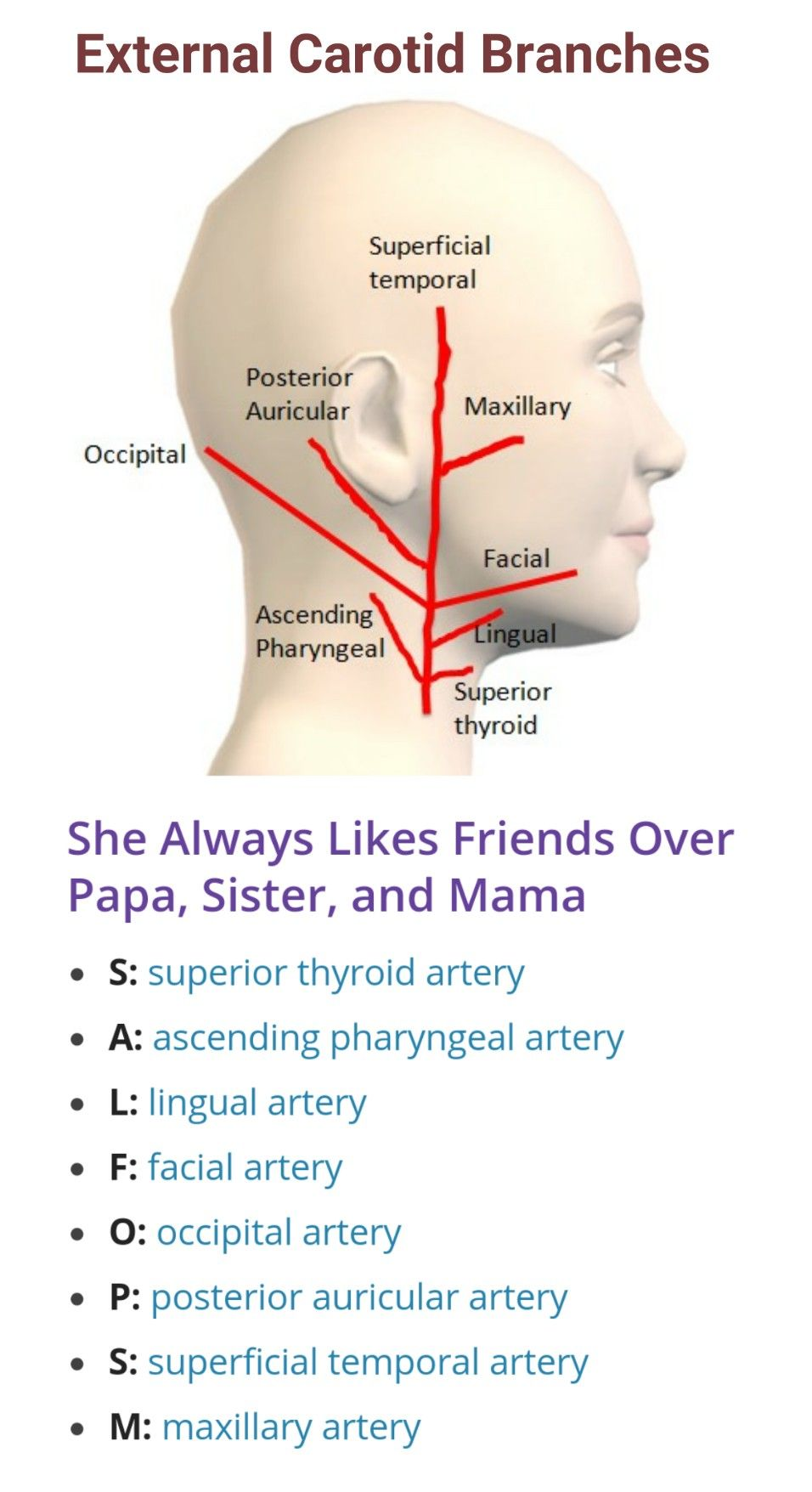 Branches of External Carotid Artery ... | Arteries & Veins ...