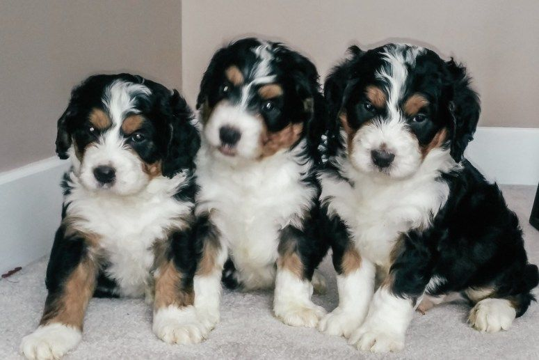 Bernedoodle Puppies For Sale Columbus Ohio Bernedoodle Puppy Puppies For Sale Bernedoodle