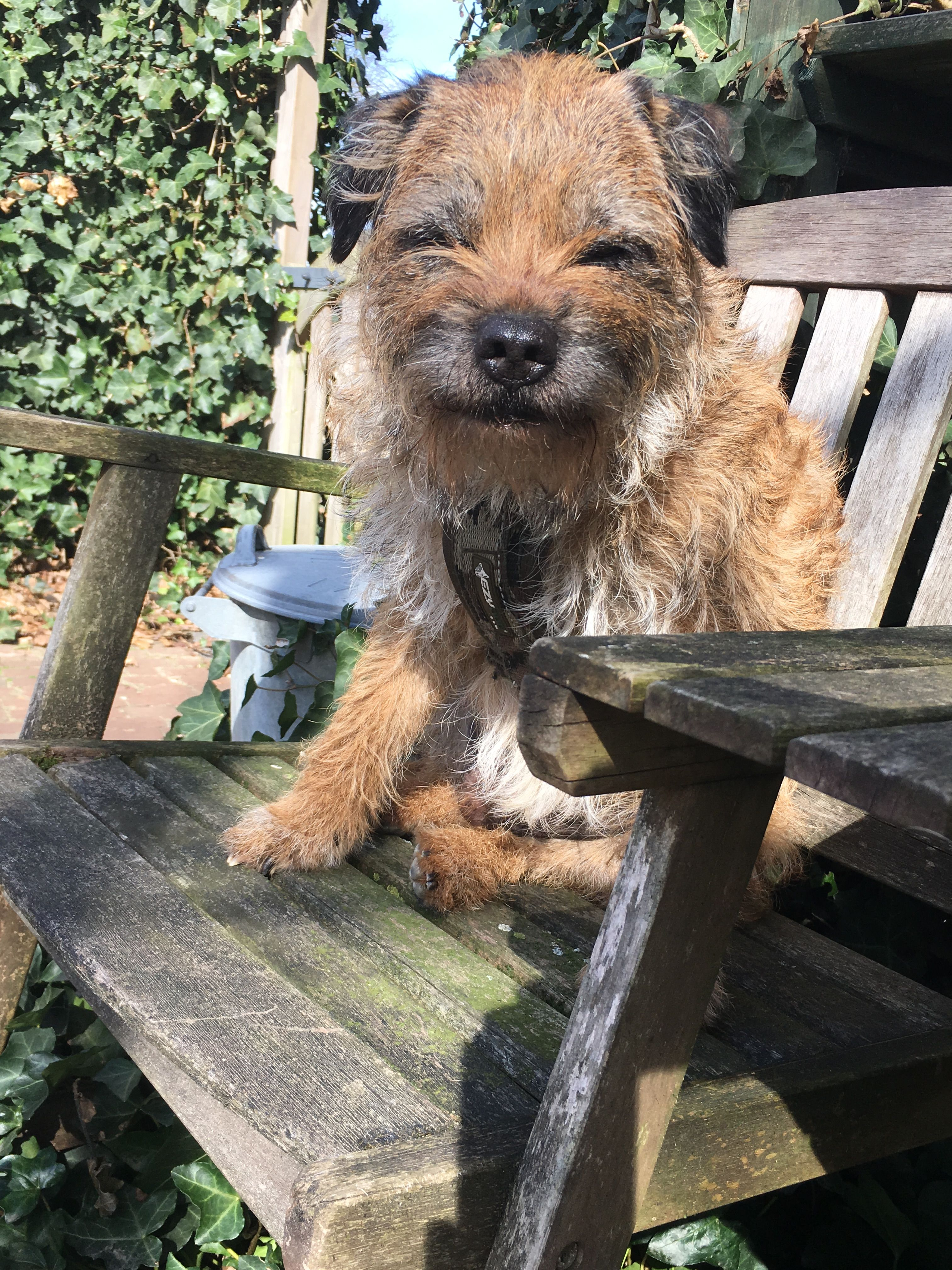 Border Terrier Image By Diane Beckwith On Little Brown Dogs