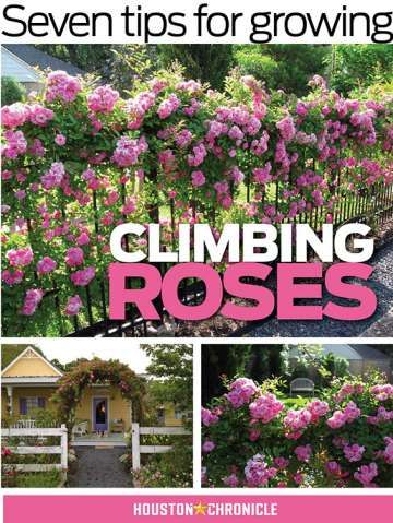 Seven tips for growing climbing roses is part of Rose garden design, Climbing roses, Climbing roses trellis, Planting roses, Growing roses, Garden care - Few things make a garden look more romantic than a trellis dripping with opulent climbing roses  Local nurseries offer a number of oldfashioned types that are reliable on the Gulf Coast  Some varieties produce large single flowers, others offer up clusters of small jewels  The pretty flowers of repeatblooming Noisettes, such as the apricotclustered  Crepuscule,  lemonywhite  LaMarque,  softpink and nearly thornless  Madame Alfred Carriere  and nearly thornless, peachy beauty  Reve d'Or,  put out long canes and have a dangling habit that encourages passersby to enjoy their fragrance  The thornless  Peggy Martin,  a found rose of unknown origin that survived Hurricane Katrina, can cover a fence quickly, flushing in the spring and fall with large clusters of small, brightpink blossoms  The large, deep cerise blossoms of the thorny but more mannerly  Maggie,  a found variety that blooms yearround, have a delicious fragrance  Water the plant well, then sprinkle a cup of epsom salts (to encourage more stems) and a cup of granular organic fertilizer such as MicroLife or Mills Magic Rose Mix (to encourage blooms) around the base of the plant; water in the dry materials with at least a halfgallon of diluted compost tea (preferably aerated, but that's a project)  Spread a 3inch layer of quality mulch around the plant, pushing it away from the base to form a slight  doughnut  mound that will direct water toward the roots