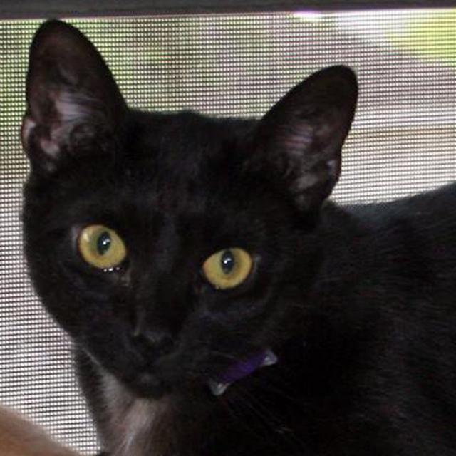 Meet+ALLEY,+a+Petfinder+adoptable+American+Shorthair+Cat+