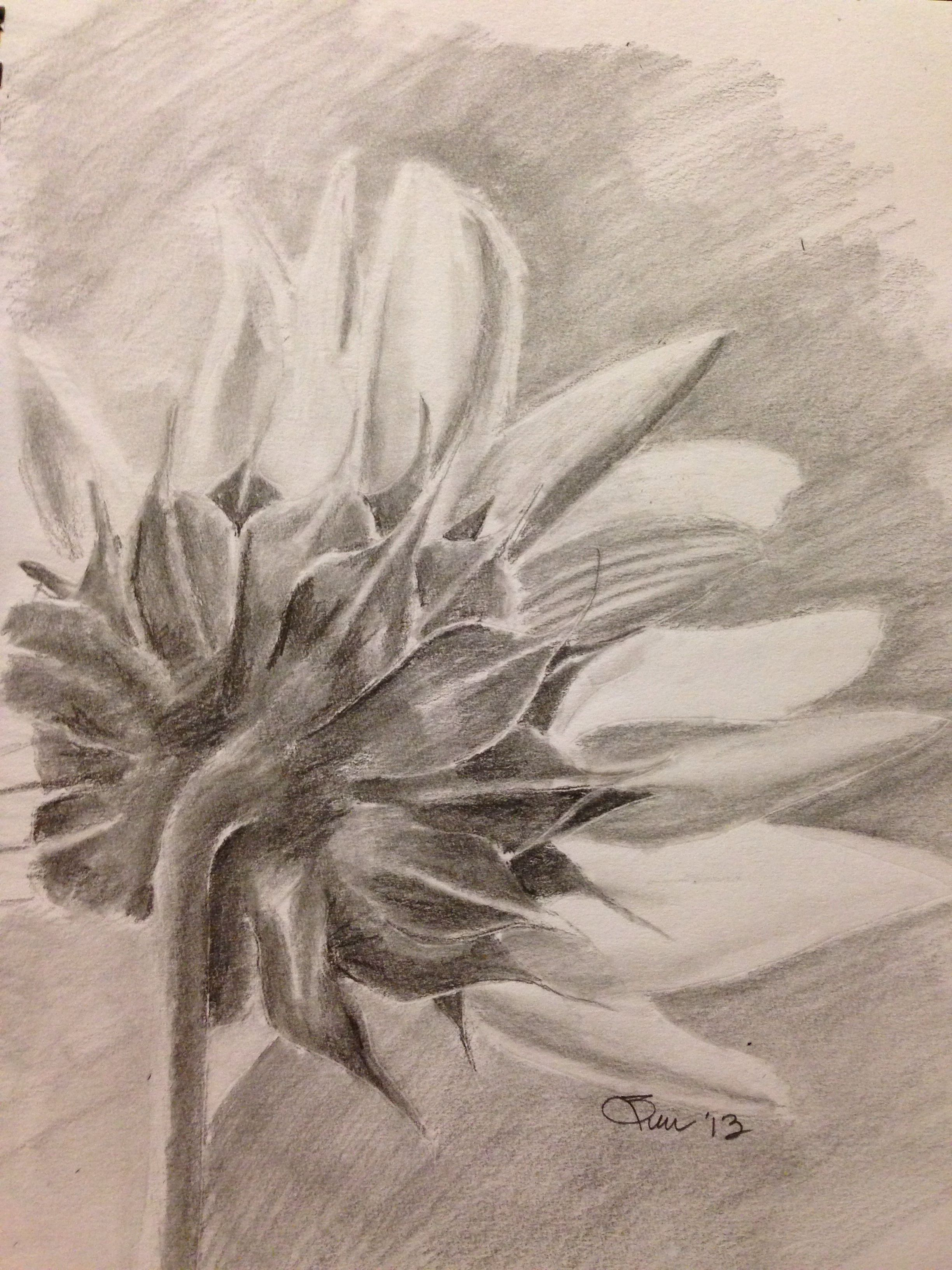 Sunflower pencil drawing art