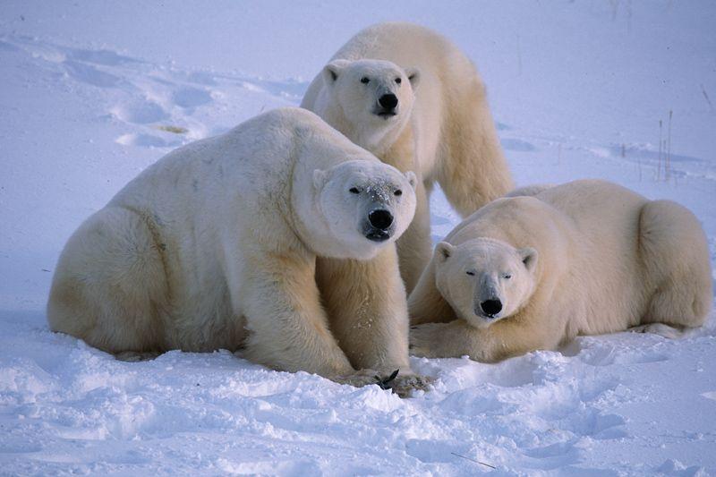 Polar bears | The next great adventure | Breathinstephen