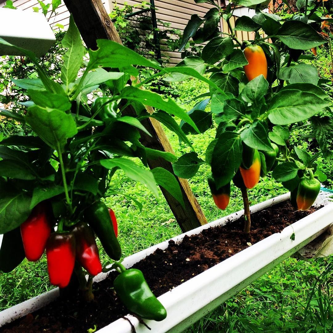 Growing Peppers In Rain Gutters These Lunchbox Pepper Mix