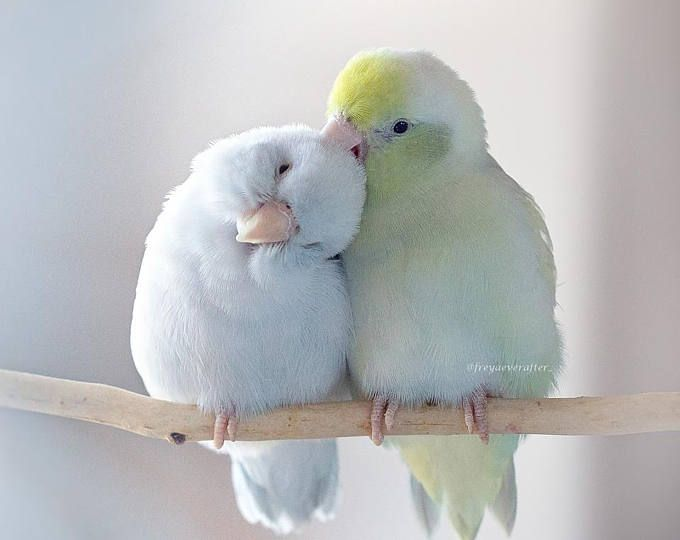 Freya Ever After Parrotlets in love bird photography fine art photography wall art