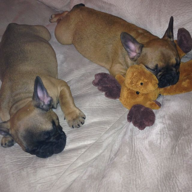 Cuddly frenchies