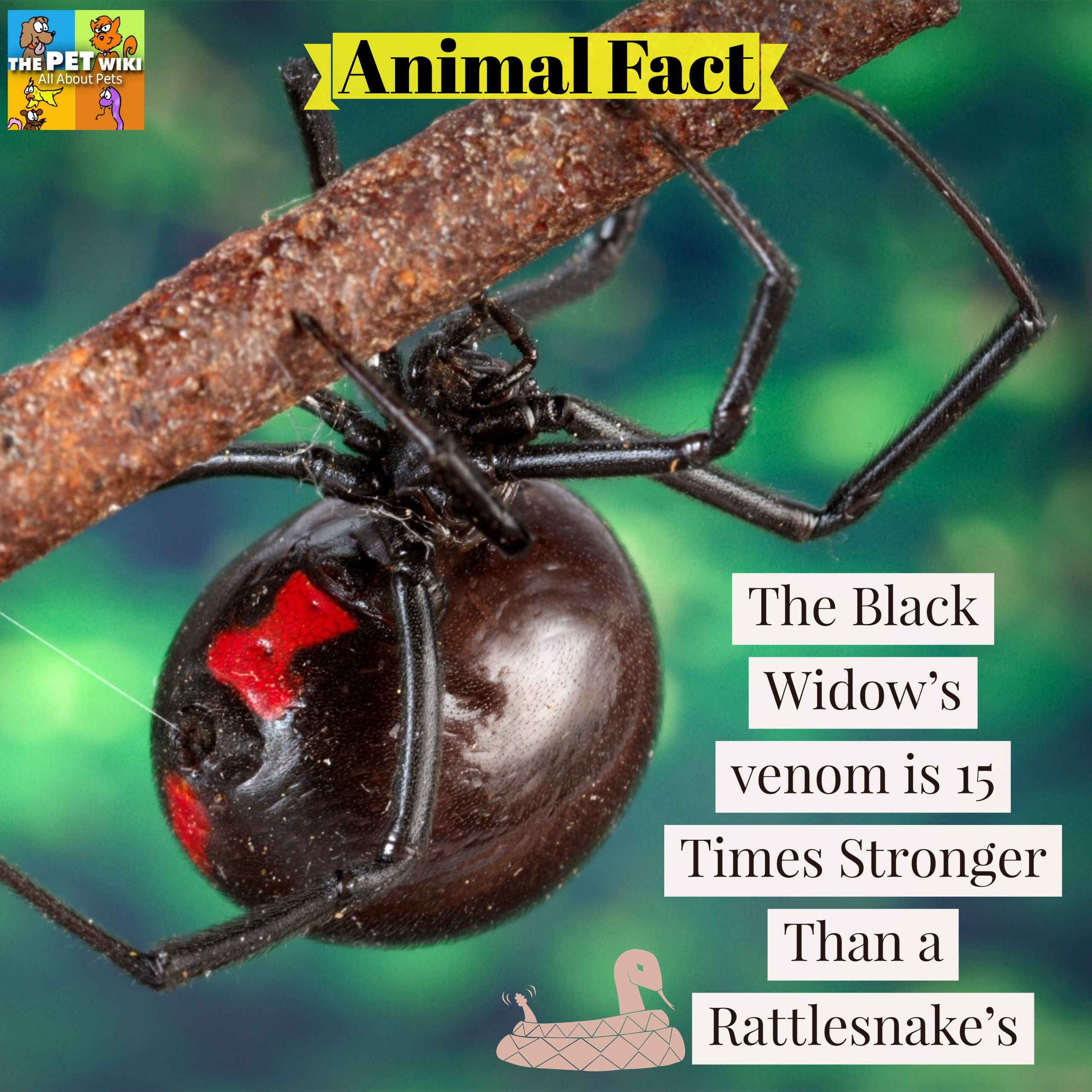 Pin By The Pet Wiki On Animal Facts Spider Bites Black