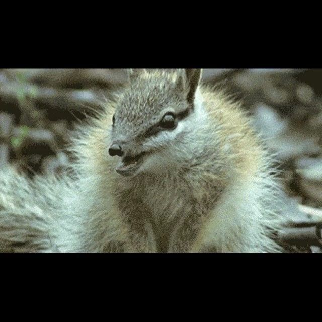 The Numbat, also called the banded anteater, is a small