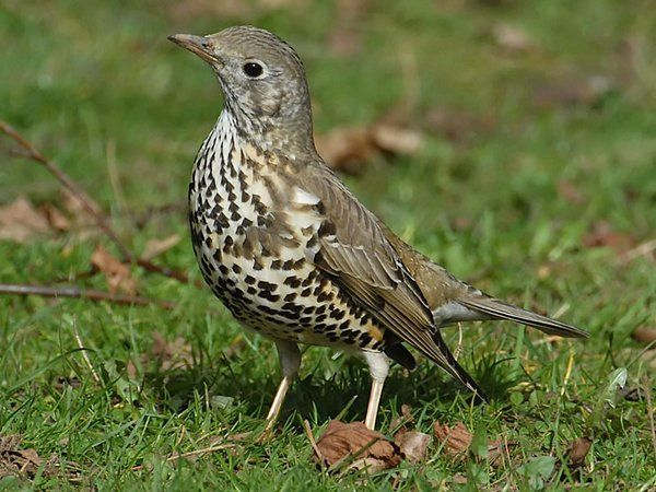 Mistle Thrush -Derek Thomas (@Coffeewarblers) | Twitter