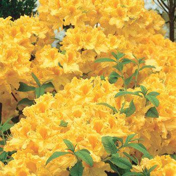 Golden Lights Hardy Azalea Shop Shrubs Michigan Bulb Yellow Flowering Shrub Flowering Shrubs Plants