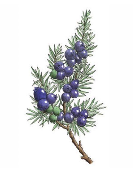 6031335cf98ea Juniper branch with berries color illustration. | Ink in 2019 ...